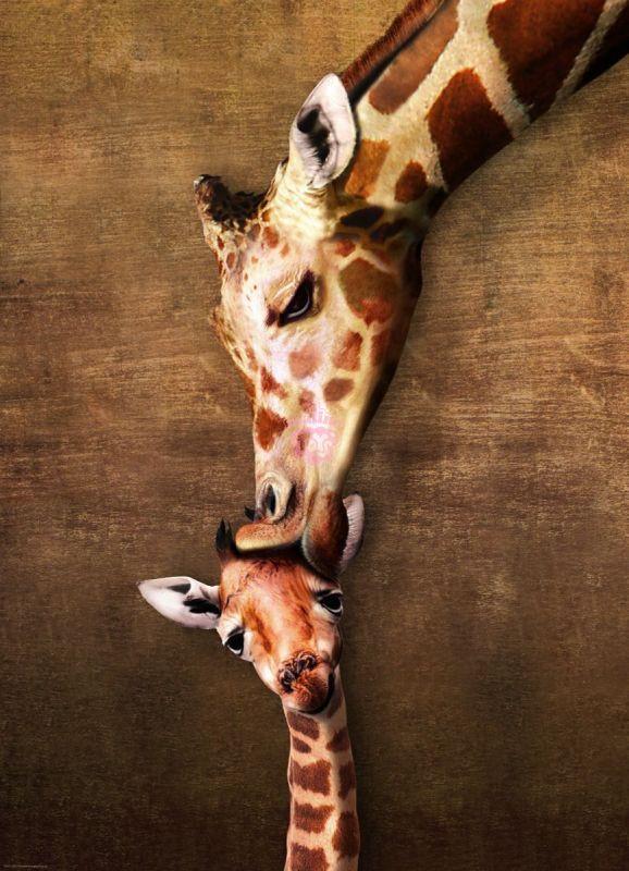 Giraffe first kiss